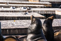 Two sea lions on the floating platform a view of san francisco Royalty Free Stock Photo