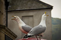 Two seagull birds chirping opposite to each other chirp Royalty Free Stock Photography