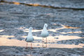 Two seagull in mud flats mangrove at bells creek queensland Royalty Free Stock Image