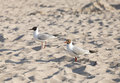 Two seagulls on a beach at sunset Royalty Free Stock Photo
