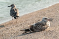 Two seagulls on coast the sandy sea Royalty Free Stock Photo