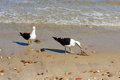 Two seagulls eating fish on beach with stones near sea selective focus Royalty Free Stock Image