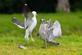 Two seagulls fighting over a fish on green ground Stock Images