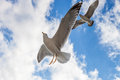 Two seagulls are flying against the blue sky Stock Images