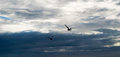 Two seagulls flying against dramatic cloudy stormy sky Royalty Free Stock Photo