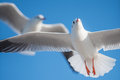 Two Seagulls Flying Over