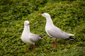 Two Seagulls Royalty Free Stock Photo