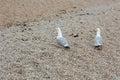 Two seagulls, Laridae, walk on stone beach Royalty Free Stock Photo