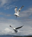Two seagulls on a lightly cloudy sky Stock Photo