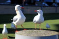 Two seagulls scramble food Royalty Free Stock Photography