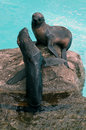 Two seals northern fur on a rock with blue water behind each seal has a different pose Royalty Free Stock Photography