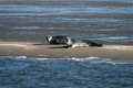 Two seals on a sandbank grey resting at low tide wadden sea netherlands Stock Photos