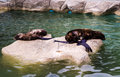 Two seals in a zoo sleep Stock Images