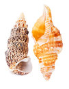 Two seashells Royalty Free Stock Photos