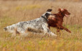 Two setters runs on a green grass dogs shallow dof focus dog shooting with panning Royalty Free Stock Images