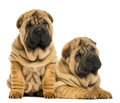 Two shar pei puppies sitting and lying next to each other isolated on white Stock Photos