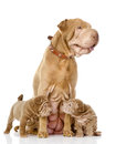 Two sharpei puppies dog and and their adult mother isolated on white Royalty Free Stock Images