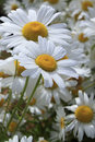 Two Shasta Daisies Dappled with Water Droplets Royalty Free Stock Photo