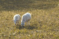 Two sheep eat grass at the meadow Stock Image