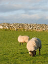 Two sheep in the meadow with stonewall Royalty Free Stock Photography