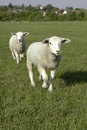 Two sheep running towards the camera in a grassy feild Royalty Free Stock Image