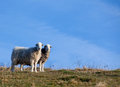 Two sheep standing together hill looking at the camera with blue sky Royalty Free Stock Image