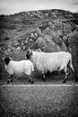 Two sheep walking on street in scotland outer hebrides black and white image Royalty Free Stock Photography