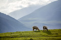 Two sheeps at the pasture in mountains kyrgyzstan Royalty Free Stock Images