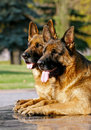 Two shepherd dogs laying on granite Stock Photo