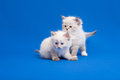 Two siberian forest kittens on blue background Stock Photo