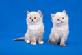 Two siberian forest kittens on blue background Royalty Free Stock Images