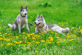 Two Siberian husky and dandelions flowers Royalty Free Stock Photo