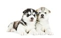 Two Siberian husky puppy isolated Stock Image
