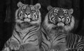 Two siberian tigers sitting next to eachother black and white image of Stock Image