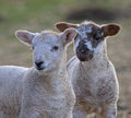 Two sibling lambs Stock Photos