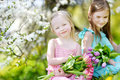 Two sisters holding flowers in a garden cute little tulips for their mother blooming cherry on beautiful spring day Stock Photo