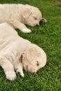 Two sleeping golden retriever puppies Royalty Free Stock Photo