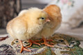Two small chickens standing on a decorative pillow closeup Stock Photo
