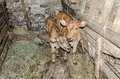 Two small and cute calves beautiful in the cowshed Stock Images