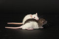 Two small domestic rat on a black background Royalty Free Stock Photos
