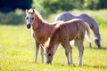 Two small foals in field summertime Royalty Free Stock Photos