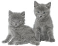 Two small gray kitten sitting isolated on white background Stock Photo