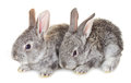 Two small gray rabbits Royalty Free Stock Image