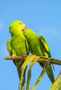 Two small green parrots in love Royalty Free Stock Photo