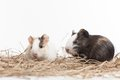 Two small hamsters on white background nice hamster sitting hay Stock Photos