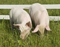 Two small pigs Royalty Free Stock Photos