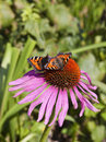 Two small tortoiseshell butterflies latin name aglais urticae feeding on a pink flower Royalty Free Stock Images