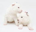 Two small white husky puppies turn to each other Stock Photography
