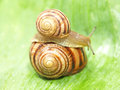 Two snails. Stock Photos
