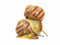 Two snails. Royalty Free Stock Photos